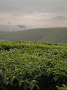 Dawn mist covers the tea plantations in Munnar, a hill station in Kerala, India