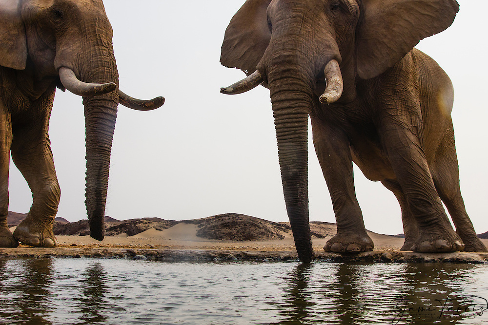 Wide angle perspective of desert-dwelling elephant bulls (Loxodonta africana) drinking from an artificial desert water hole , Skeleton Coast, Namibia, Africa