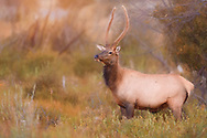 Young Spike Bull Elk