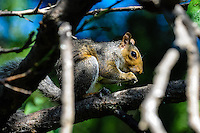 South Africa, Cape Town. Eastern gray squirrel in the Company's Garden.