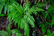 Spikemoss (Selaginella sp.) from the rainforest of Ecuador close to La Selva Junglelodge and Lake Garzacocha.