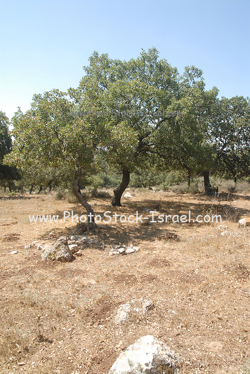 Israel, Galilee, Alonei Abba, a natural forest of Oak trees Quercus calliprinos.