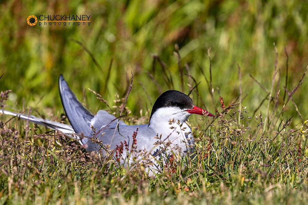 Arctic Tern nesting at Machias Seal Island, Maine, USA