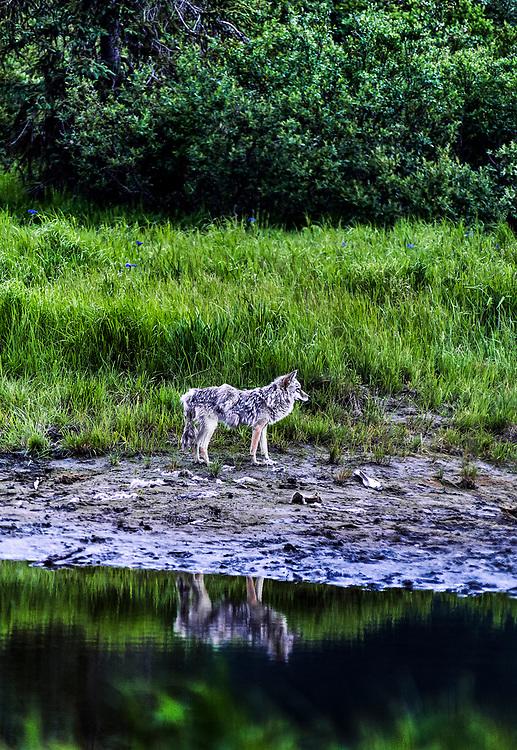 Coyote, Alaska, USA