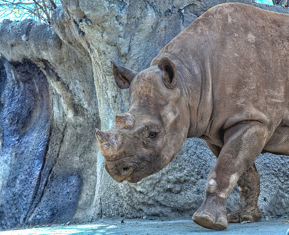 Rhinoceros, often abbreviated as rhino, is a group of five extant species of odd-toed ungulates in the family Rhinocerotidae. Two of these species are native to Africa and three to southern Asia.