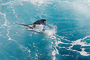 Jumping White Marlin.