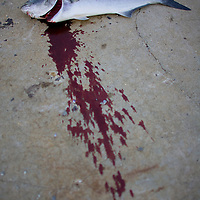 """A large bluefish (Pomatomus saltatrix) of about 12 lbs had it's throat cut by a fisherman in order to bleed the fish as they are naturally oily and strong flavored. To minimize this and any """"fishy"""" taste, they are usually gutted, iced promptly, and eaten fresh"""
