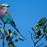 Africa, Botswana, Chobe National Park, Lilac-Breasted Roller (Coracias caudata) sits on branch in Savuti Marsh