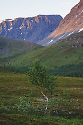 Lone Birch | Occasional tree in mountain tundra of valleys, Norway