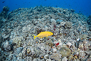 Yellow-spotted trivially (Carangoides orthogrammus)
