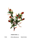 burnet (Sarcopoterium spinosum [Here as Poterium spinosum) From the book Wild flowers of the Holy Land: Fifty-Four Plates Printed In Colours, Drawn And Painted After Nature. by Mrs. Hannah Zeller, (Gobat); Tristram, H. B. (Henry Baker), and Edward Atkinson, Published in London by James Nisbet & Co 1876 on white background