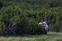 Wild European Brown bear (Ursus arctos), solitary female peering from behind Dwarf pines (Pinus mugo) in mountain meadow. Western Tatras, Slovakia. June 2009. Mission: Ticha