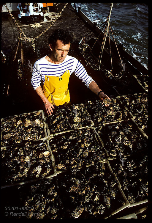 Barnard Audic holds only flat oyster found among tons Japanese oysters, Gulf of Morbihan. France