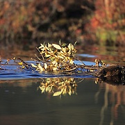 Beaver (Castor canadensis) in Denali National Park, Alaska.