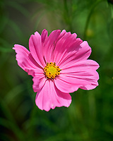Cosmos Flower. Image taken with a Nikon D810a camera and 105 mm f/2.8 VR macro lens.