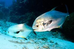 courting pair of permit, Trachinotus falcatus, South Elbow, Key Largo, Florida Keys National Marine Sanctuary, Atlantic Ocean