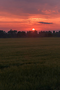 Wheat field and evening painted with reds and setting Sun, near Piksāri, Vidzeme, Latvia Ⓒ Davis Ulands   davisulands.com
