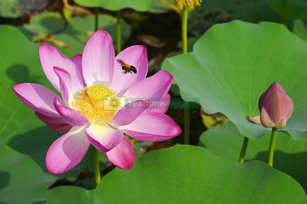 July 6, 2018 - Weifan,  China - A bee flies near a blossoming Lotus flower at Hehuawan Park in Weifang, east China's Shandong Province. (Credit Image: © SIPA Asia via ZUMA Wire)