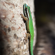 A Manapany day gecko hangs out on a tree by the beach in This species, Pelsuma inexpectata, is listed as critically endangered by the International Union for the Conservation of Nature and is only found in a small area in Reunion Island