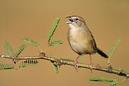 Botteri's Sparrow - Peucaea botterii