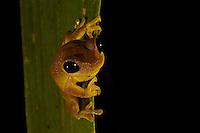 A tree frog (Nyctimistes fluviatilis) on a leaf.
