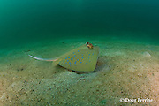 bluespotted, blue-spotted, blue spotted or Kuhl's stingray or stingaree, Dasyatis kuhlii, at wreck site known as The Barges  - actually three sections of a floating dock sunk off Grande Island or Fort Wint, in Subic Bay, Philippines, at a depth of 6-31 m
