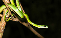 Cope's Parrot Snake, Leptophis depressirostris, at Tirimbina Biological Reserve, Costa Rica