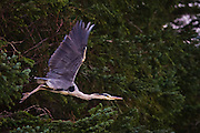 Denne Hegra satt og sov i et tred, og fikk panikk og flukta når den så meg | This Heron were sleeping in a tree, and escaped in panic when it discovered me.