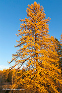 Tamarack aka Larch tree at peak autumn color near Creston, Montana, USA