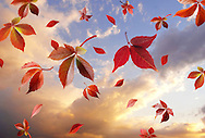 Falling autumn leaves against a sunset cloudy sky. Colorful leaves and natural colors