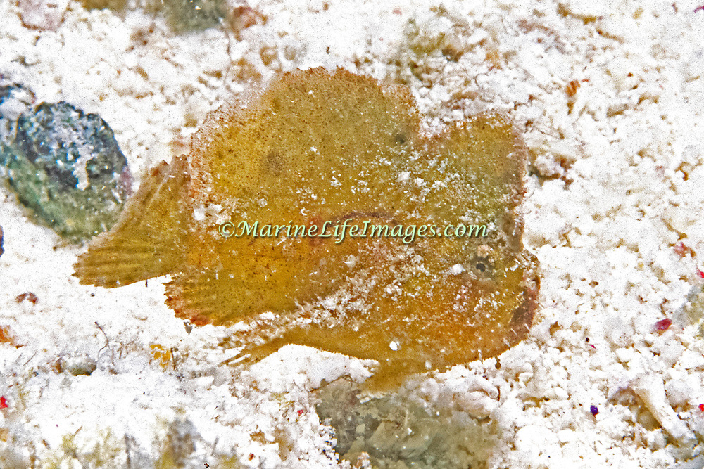 Dwarf Frogfish inhabit areas of sand and rocky rubble in Tropical West Atlantic; picture taken Los Roques, Venezuela.
