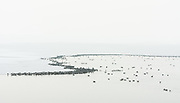 Under the shroud of late winter's fog thousands of northern shovelers line the ice on the Great Salt Lake.