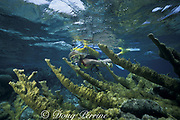 diver explores shallow coral reef with elkhorn coral, Acropora palmata ( Endangered Species ), Hol Chan Marine Reserve, Ambergris Caye, Belize, Central America <br /> ( Caribbean Sea ) MR 106