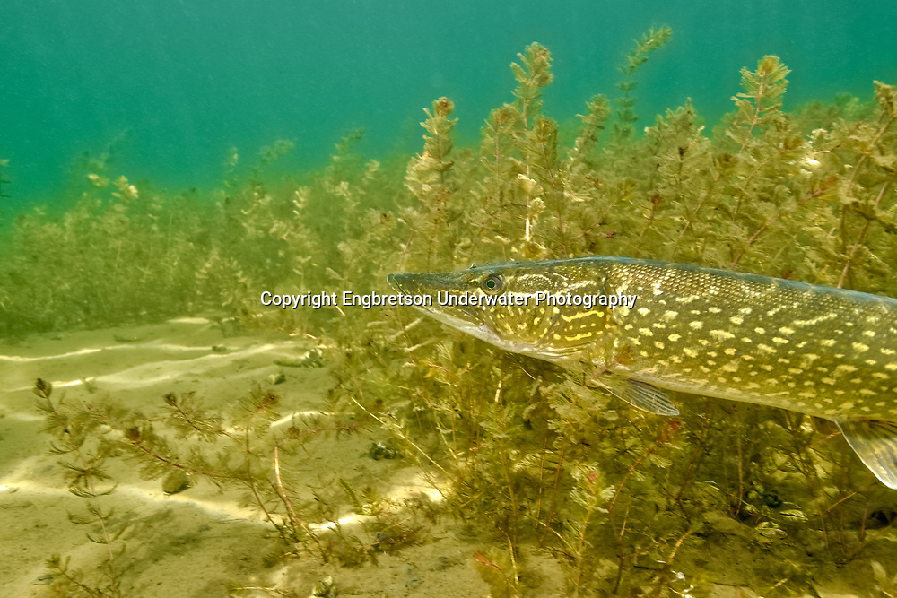 Northern Pike (in milfoil)<br /> <br /> Engbretson Underwater Photo