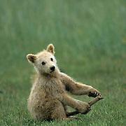 Alaskan Brown Bear, (Ursus middendorffi) Young cub playing with stick. Alaskan Peninsula.
