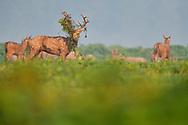 Male Père David's deer, or Milu, Elaphurus davidianus, Hubei Tian'ezhou Milu National Nature Reserve, Shishou, Hubei, China. The dominant harem-keeping stag in the herd.