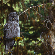 Adult great gray owl perched on dead snag at edge of mountain meadow.