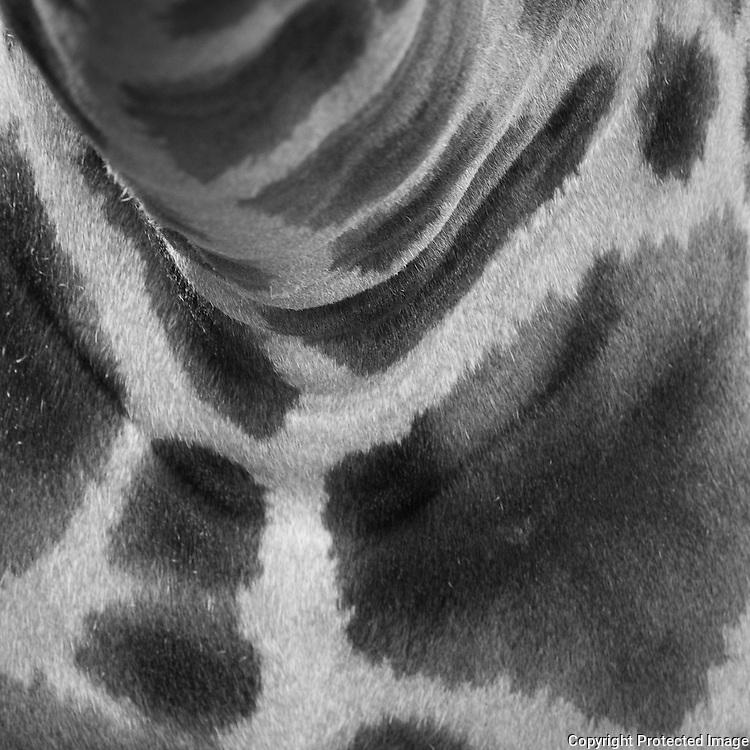 Giraffe, Giraffa camelopardalis) in the Cotswold Wildlife Park, Oxfordshire, UK