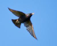 European Starling (Sturnus vulgaris). Shetland Islands Field Trip. Image taken with a Nikon Df camera and 300 mm f/2.8 VR lens.