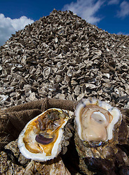 Dead oyster and healthy oyster on harvesting stack.