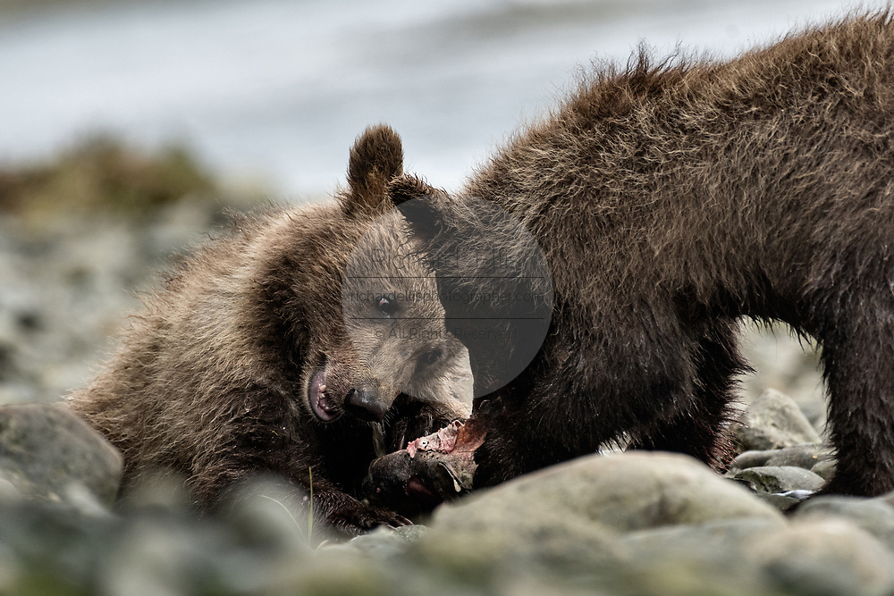 A brown bear cubs feed on salmon at the McNeil River State Game Sanctuary on the Kenai Peninsula, Alaska. The remote site is accessed only with a special permit and is the world's largest seasonal population of brown bears in their natural environment.