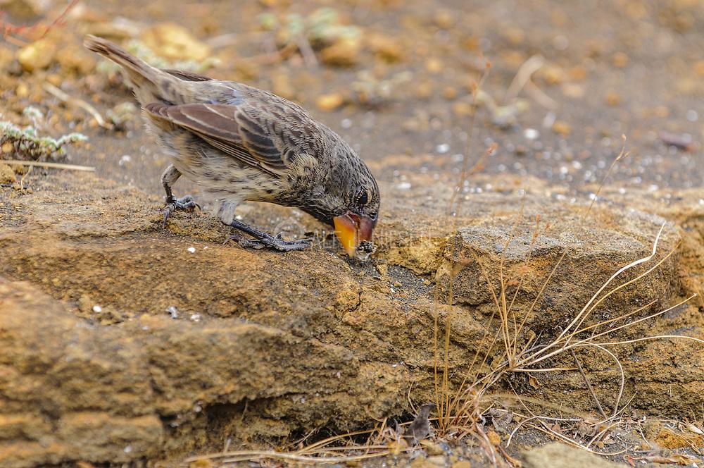 Large ground-finch (Geospiza magnirostris) cracking a seed at Puerto Egas, Santiago, Galapagos.