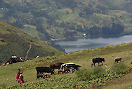 Women take their cattle out to pasture in the highlands of Andahuyalas, Peru. Sara A. Fajardo