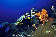 diver and yellow tube sponges, Aplysina fistularis, Akumal, Yucatan Peninsula, Mexico ( Caribbean Sea )  MR 117