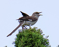 Northern Mockingbird (Mimus polyglottos). Image taken with a Fuji X-T2 camera and 100-400 mm OIS lens.