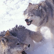 Gray Wolf, (Canis lupus) Adults running and greeting each other. Midwest.  Captive Animal.