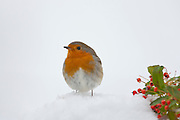 Robin puffed up against the cold on a snowy slope, The Cotswolds, UK
