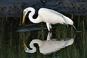 A great egret also called a great white heron spears a fish in the salt marshes of the Cape Romain National Wildlife Refuge near Charleston, South Carolina. The 66,287 acre National Wildlife Refuge encompass water impoundments, creeks, bays, emergent salt marsh and barrier islands most of which is only accessible by boat.