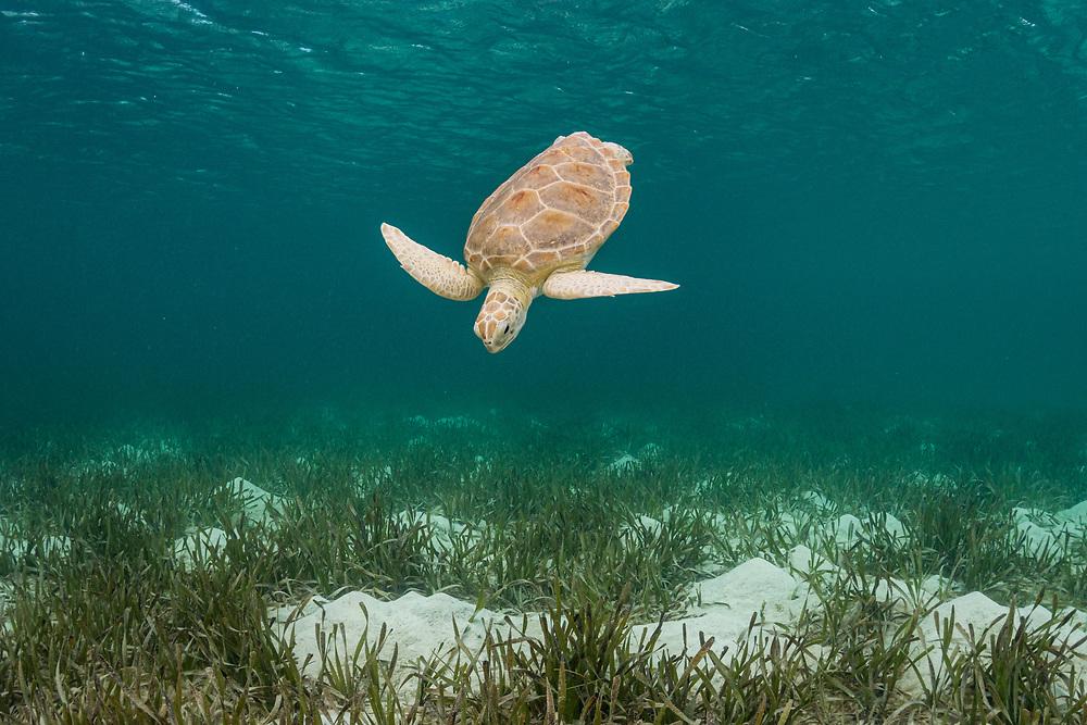 Green sea turtle (Chelonia mydas) swimming down towards turtlegrass seagrass (Thalassia testudinum) in The Bahamas