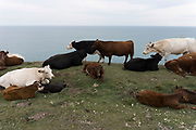 Cows resting on a cliff top on grass looking out over the English Channel. Isle of Wight, UK.